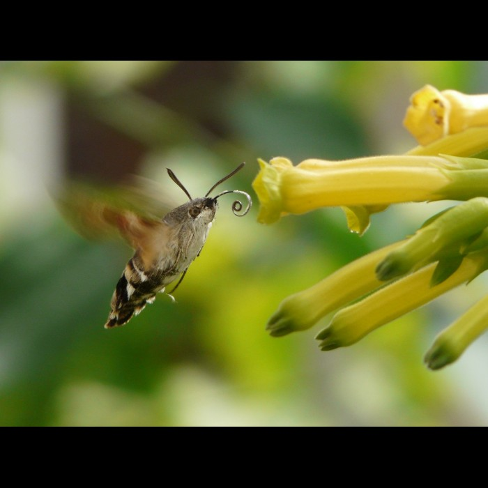 Photos de Papillons -   Le sphinx colibri